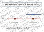 hybrid detection in s pastorianus1