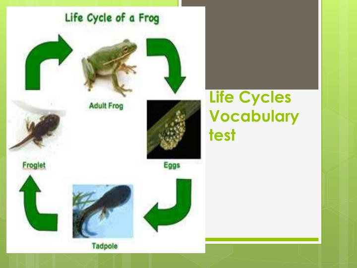 life cycles vocabulary test n.