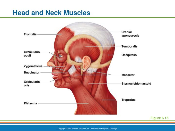 PPT - Head and Neck Muscles PowerPoint Presentation - ID:2447927