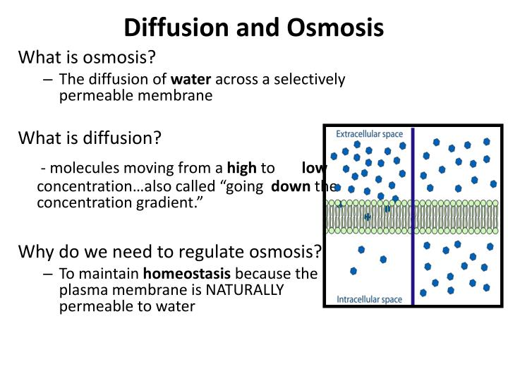 diffusion across permeable membrane What drives diffusion of water across a semi-permeable membrane and what is a semi-permeable membrane.