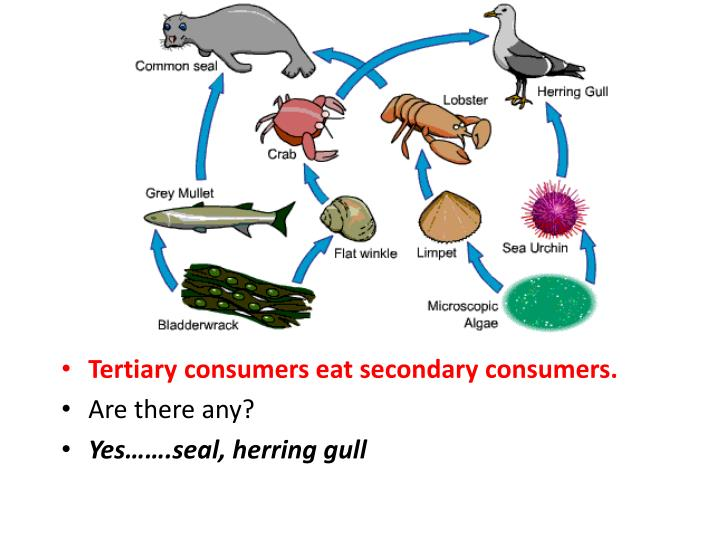 Tertiary consumers eat secondary consumers.