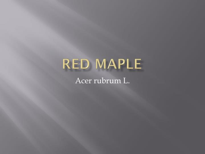 red maple n.