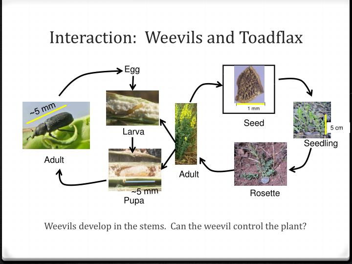 Interaction weevils and toadflax