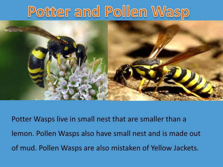 Potter and Pollen Wasp