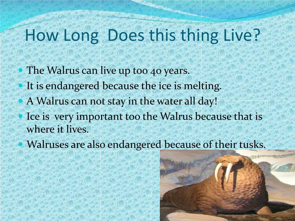 PPT - Walruses PowerPoint Presentation - ID:2457129