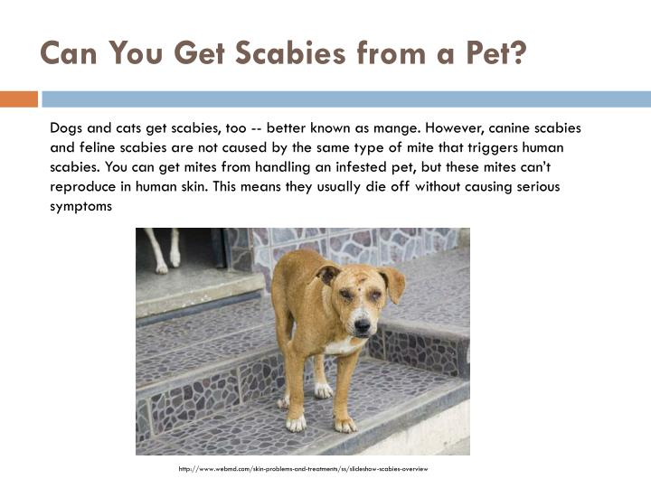 Can Cat Scabies Infect Humans
