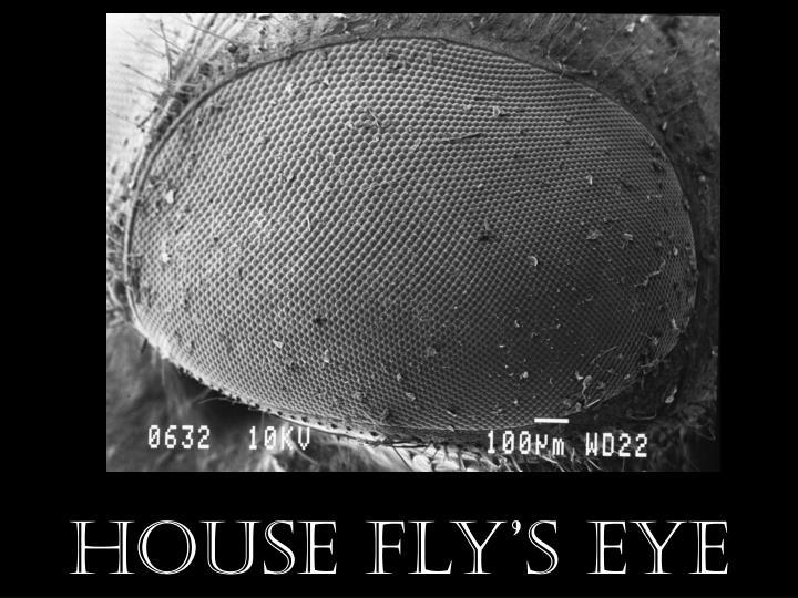 House Fly's Eye