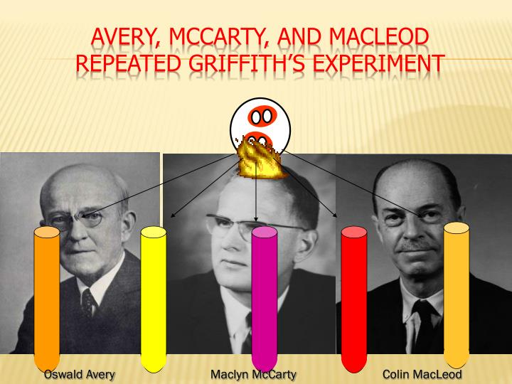 avery macleod and mccarty experiment pdf
