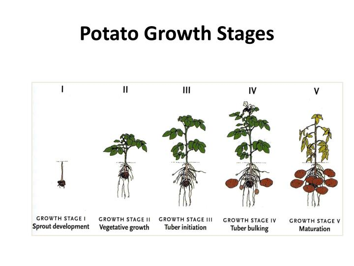 Potato growth stages