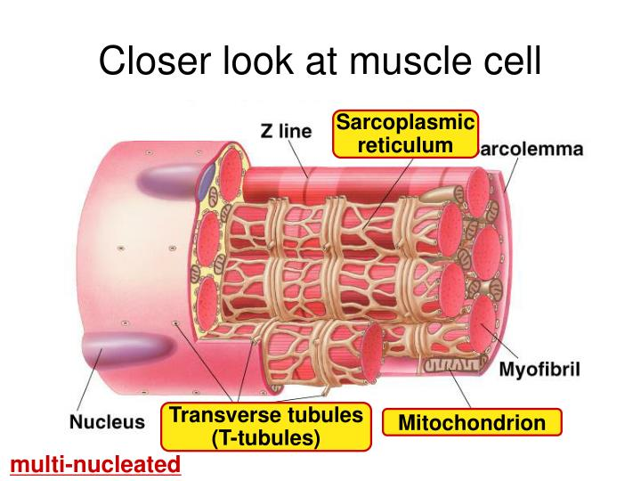 Closer look at muscle cell
