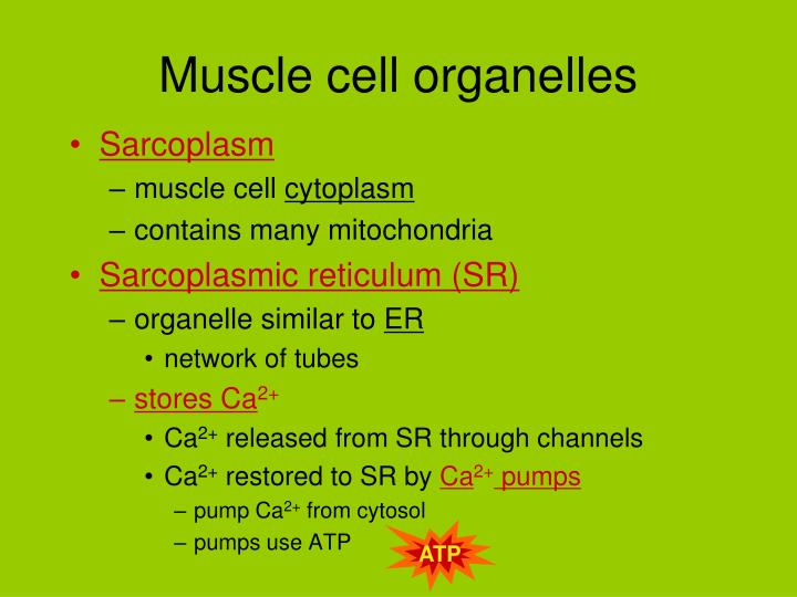 Muscle cell organelles