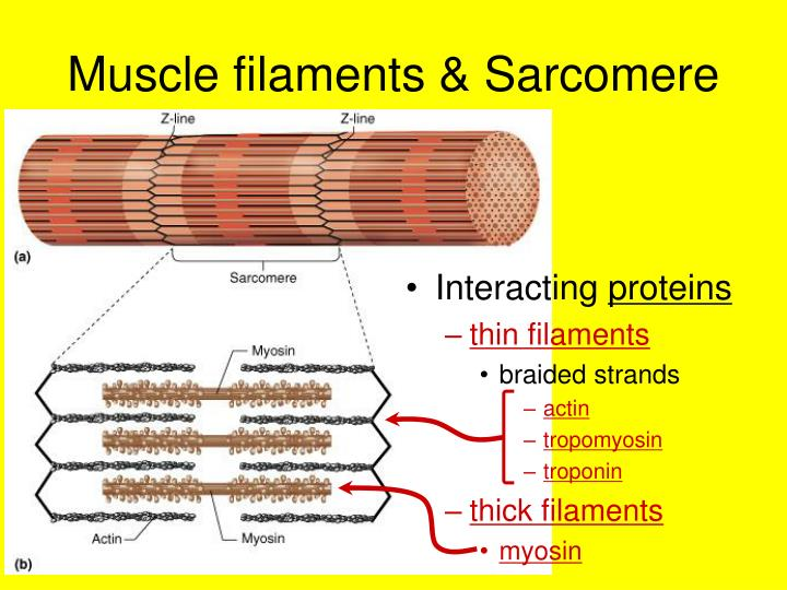 Muscle filaments & Sarcomere