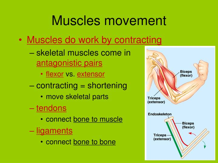 Muscles movement