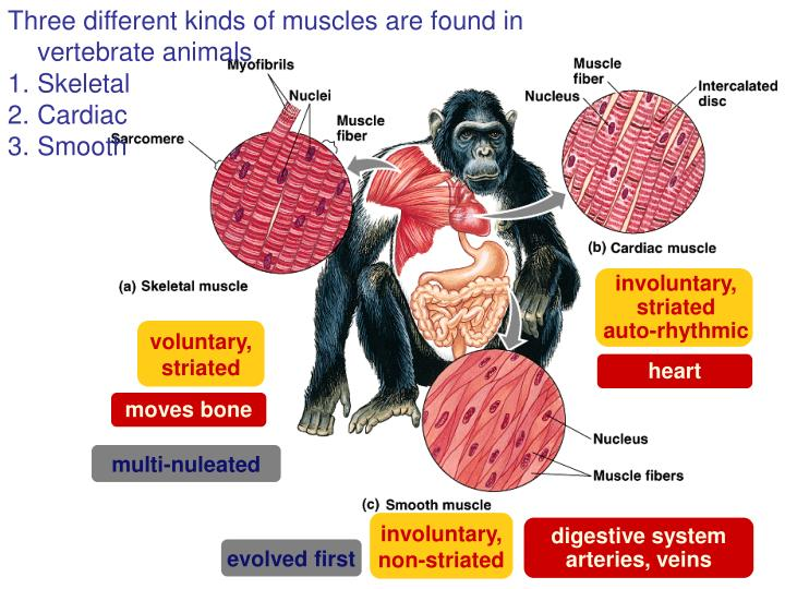 Three different kinds of muscles are found in vertebrate animals