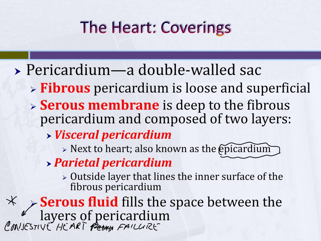 PPT - Chapter 11: The Cardiovascular System PowerPoint ...