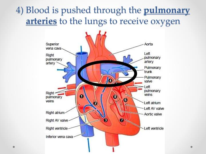 blood circulation from right femoral vein to right pulmonary artery