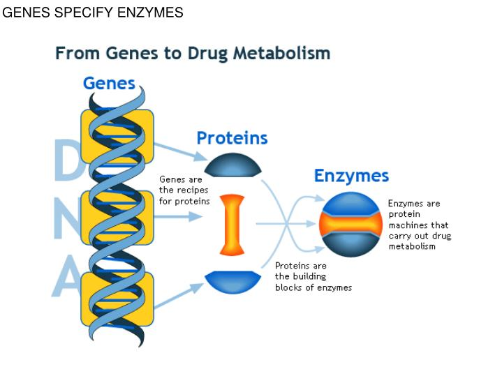 Genes specify enzymes