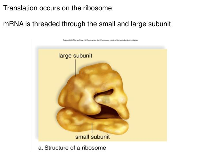 Translation occurs on the ribosome