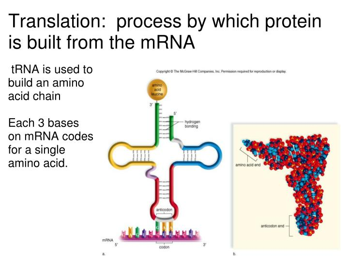 Translation: process by which protein is built from the mRNA