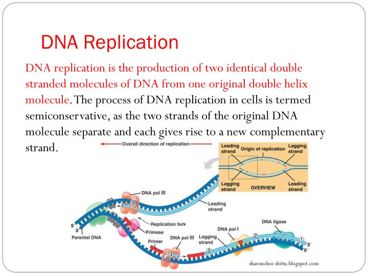 Ppt blueprint of life topic 17 dna functioning powerpoint dna replication malvernweather Images