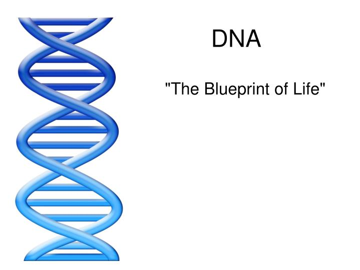 Ppt dna powerpoint presentation id2468248 dna the blueprint of life malvernweather Images