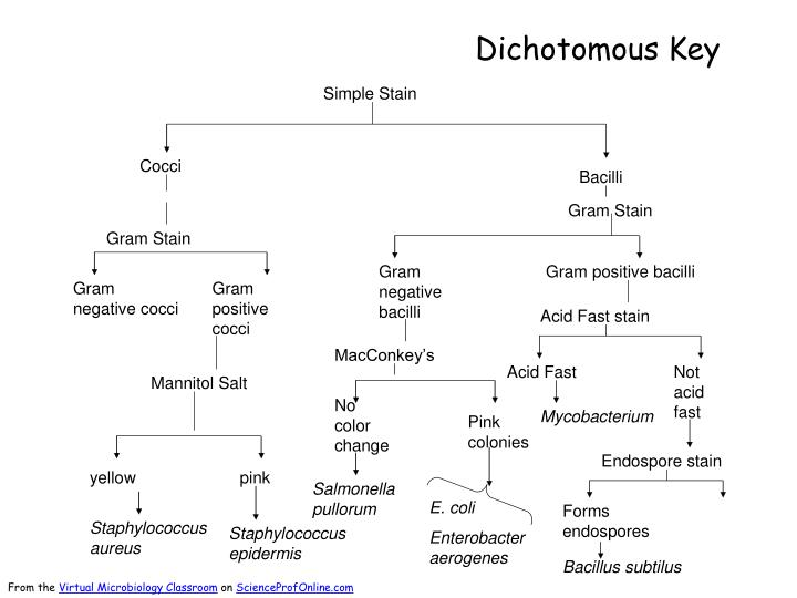 Ppt dichotomous key powerpoint presentation id 2471193 for Dichotomous key template