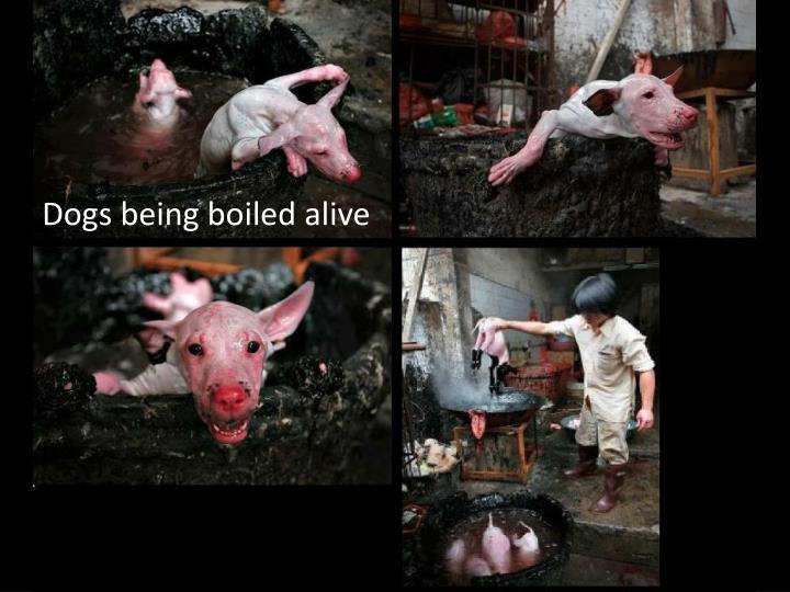 Dogs being boiled alive