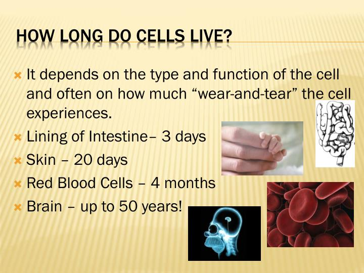 How Long Do Cells Live It Depends On The Type And Function Of Cell Often
