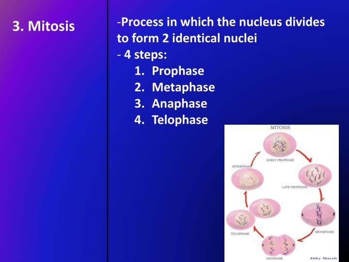 Process in which the nucleus divides to form 2 identical nuclei