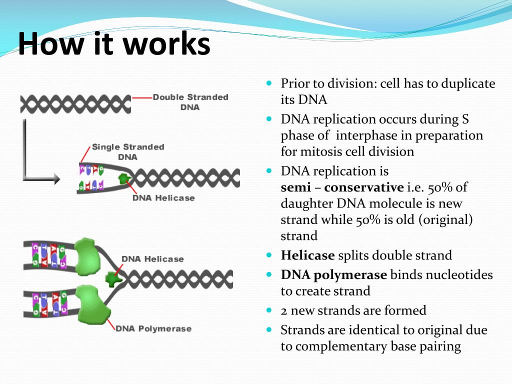 Ppt 3 4 7 2 Dna Replication Powerpoint Presentation Free Download Id 2474866