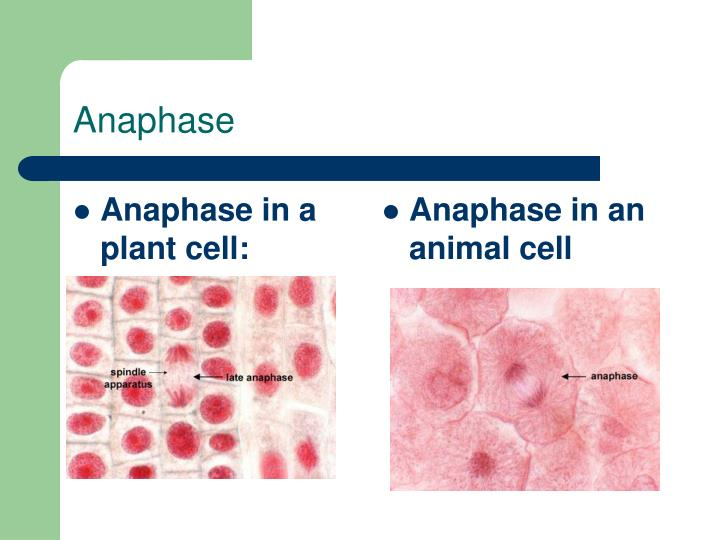 Anaphase in a plant cell: