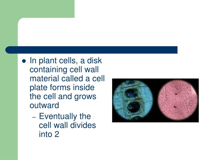 In plant cells, a disk containing cell wall material called a cell plate forms inside the cell and grows outward