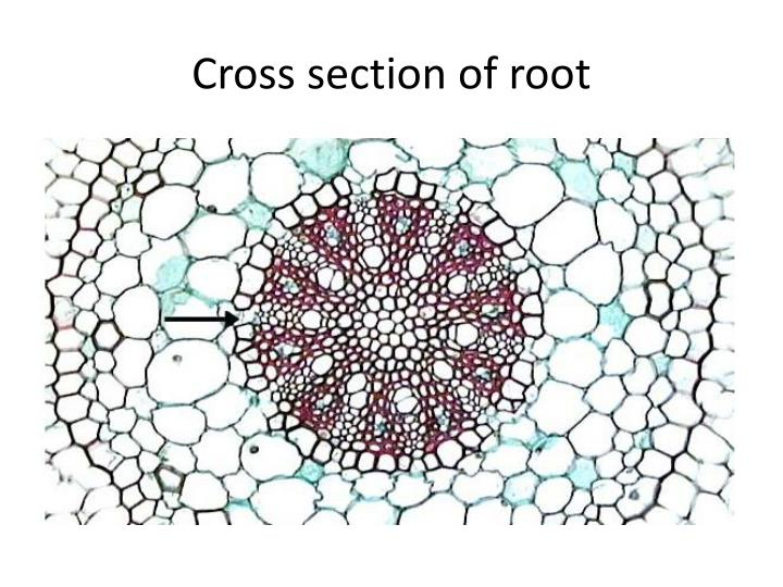 Cross section of root