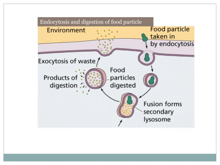 Endocytosis and digestion of food particle
