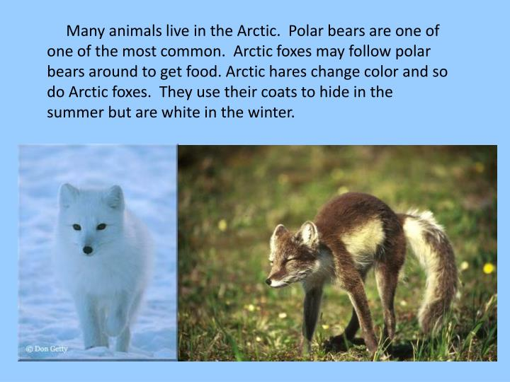 How Do Arctic Foxes Get Their Food