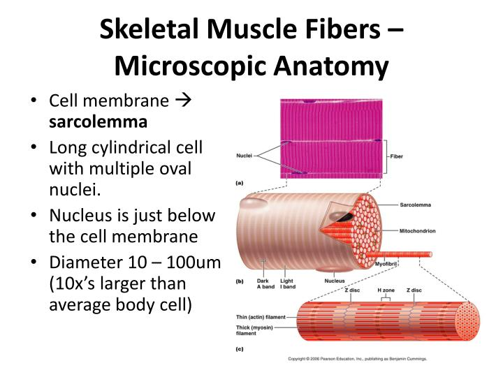 Ppt Chapter 9 Muscles And Muscle Tissue Powerpoint Presentation