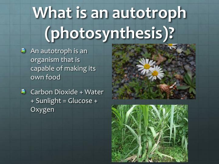 What is an autotroph (photosynthesis)?