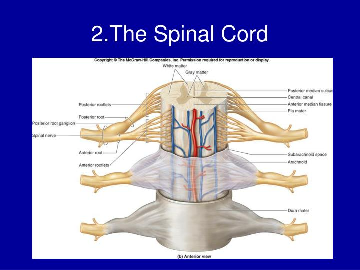 2.The Spinal Cord