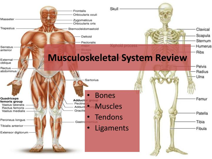 Musculoskeletal system review