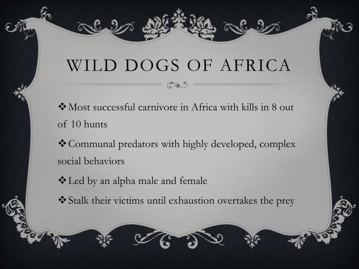 Wild dogs of africa