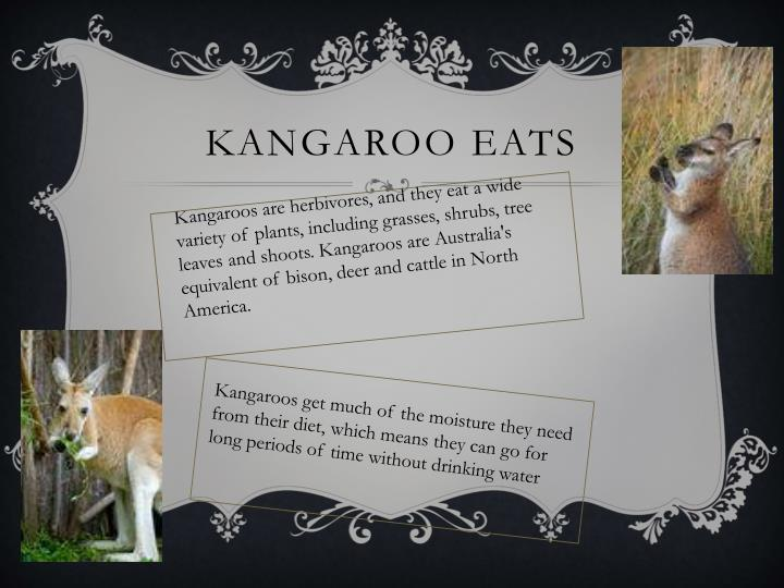 Kangaroo eats