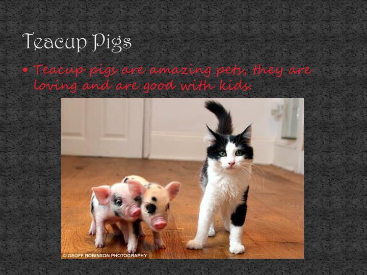 Teacup pigs1