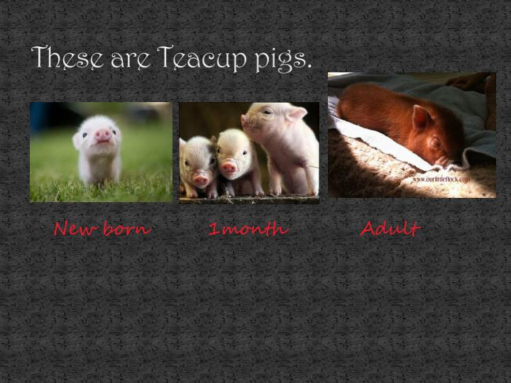 These are teacup pigs