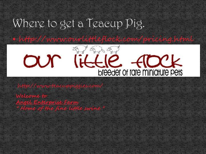 Where to get a Teacup Pig.