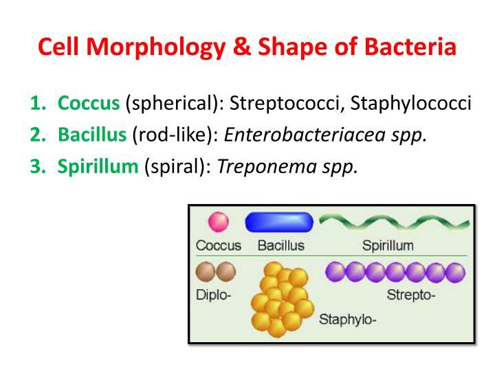 Cell Morphology & Shape of Bacteria