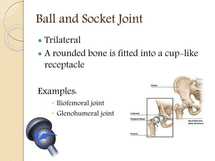 Ppt Joints Of The Human Body Powerpoint Presentation Id2504134
