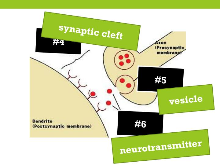 synaptic cleft