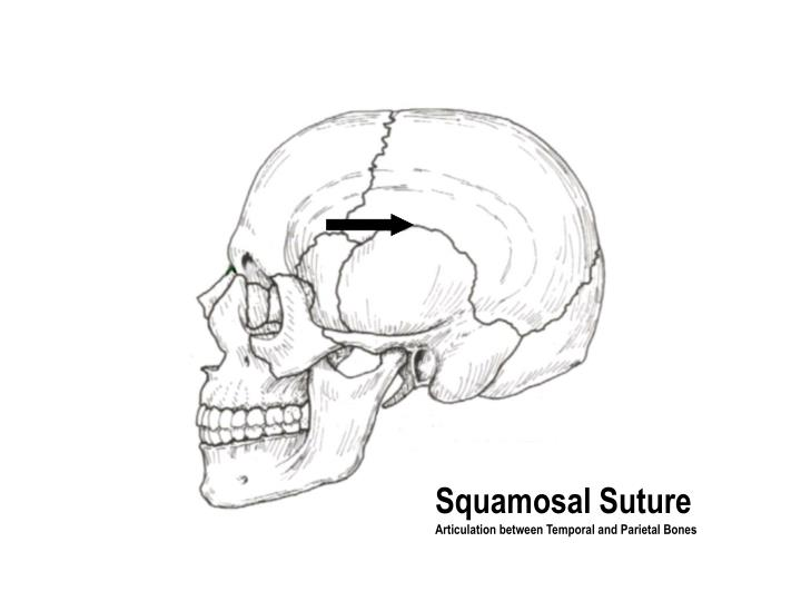 Squamosal