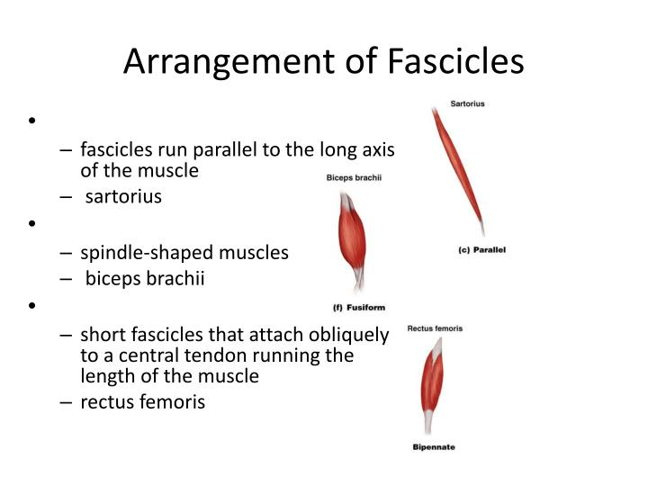 Arrangement of Fascicles