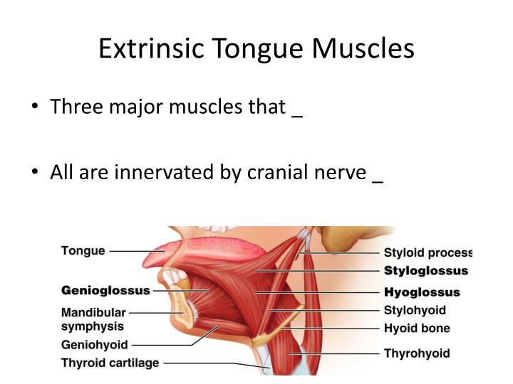 Extrinsic Tongue Muscles